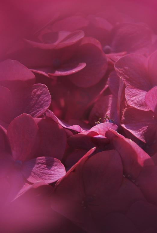 紫陽花-656-5