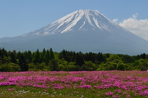 20140601shibazakura.jpg