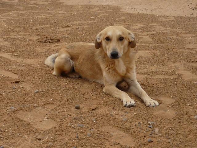 モロッコのノラ犬