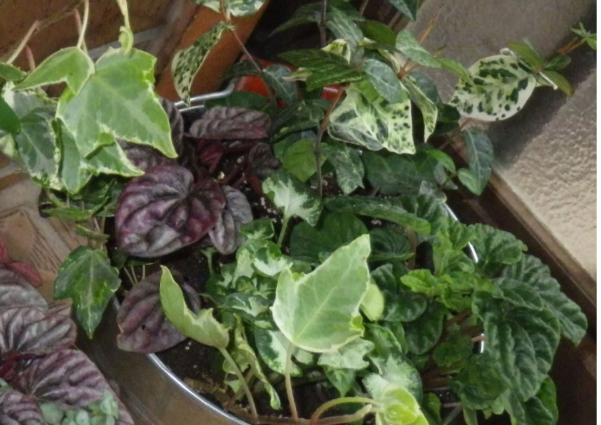 観葉植物 寄せ植え。