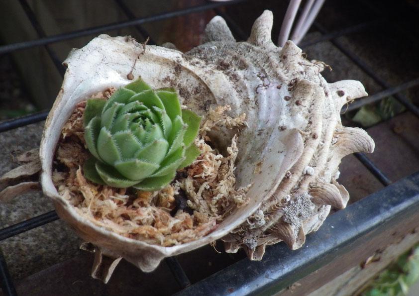 貝殻にセンペル。