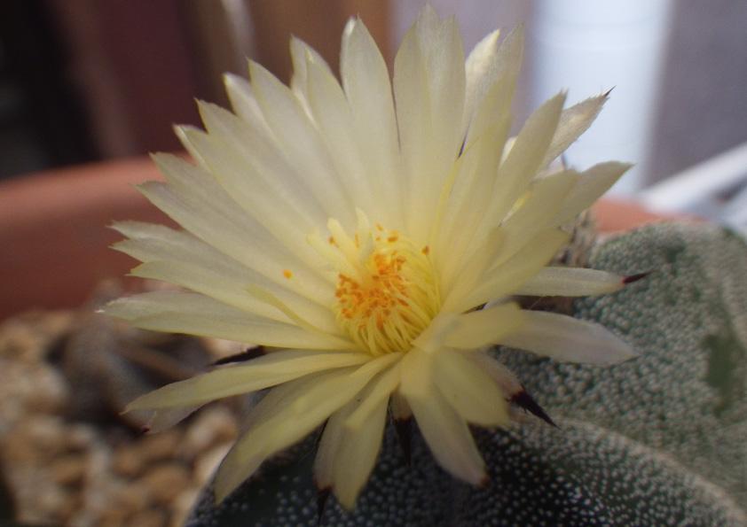 ランポー玉の花。