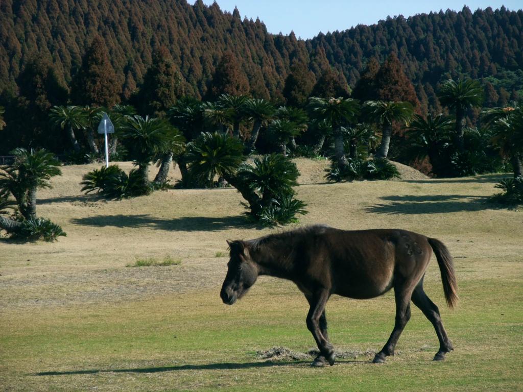御崎馬と呼ばれる野生馬