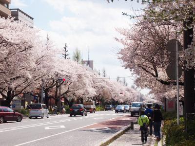 桜(大学通り)