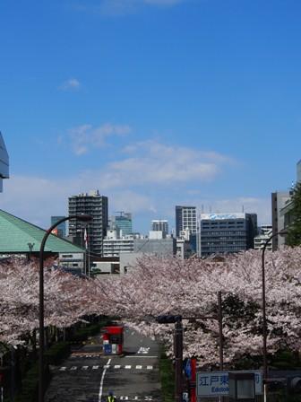 江戸東京博物館の桜