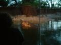 ホノルル動物園 カバ 7070