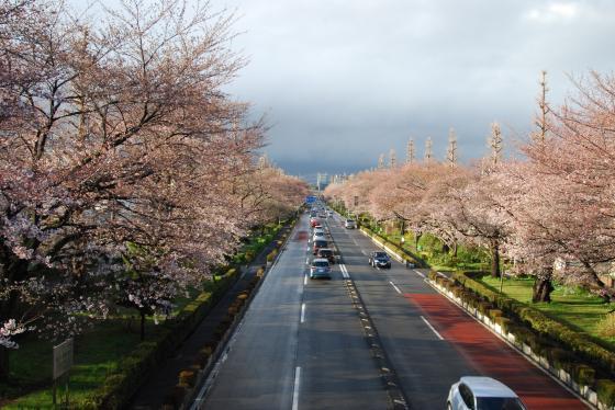 20140331桜1