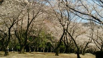 桜1(2014)
