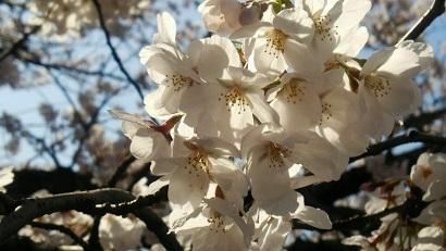 桜3(2014)