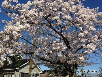 2014年4月古千谷本町の桜iPhone