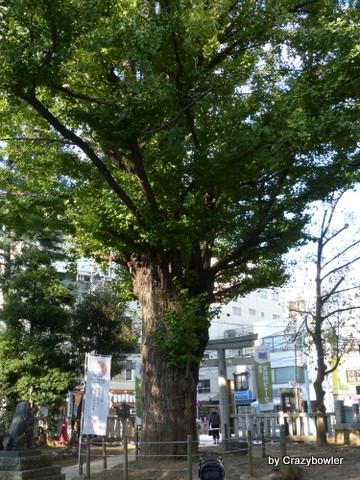鳩森八幡神社 大銀杏