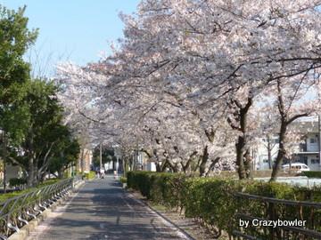 2014年4月古千谷本町の桜
