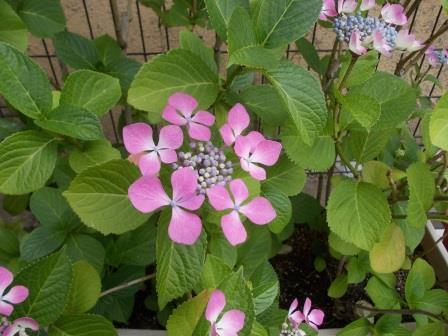 リアル紫陽花