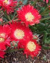 松葉菊赤色