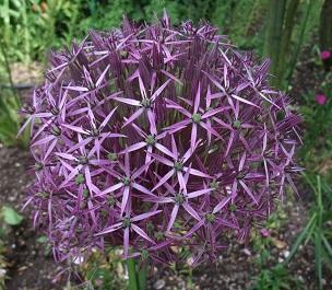 Garlic flower (1)