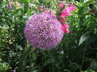 Garlic flower (3)