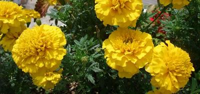 マリーゴールド 黄色