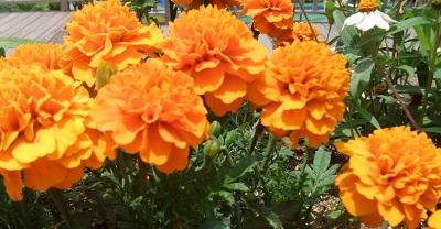 マリーゴールド 橙色