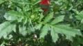 マリーゴールドの葉