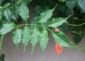 ノウゼンカズラの葉
