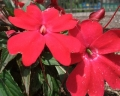 インパチェンス の花