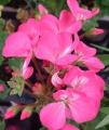 ゼラニウムの花 (1)