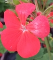 ゼラニウムの花 (4)
