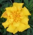 マリーゴールドの花 (1)