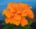 マリーゴールドの花 (2)
