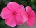 日々草の花 (3)