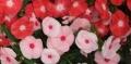 日々草の花 (4)