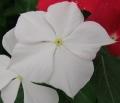 日々草の花(6)