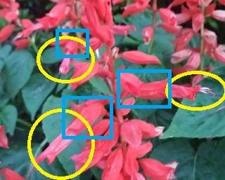 サルビアの花と萼