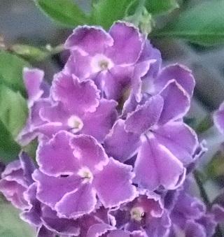 タイワンレンギョウ (3)