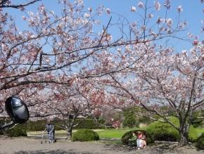安房神社参道の桜:小