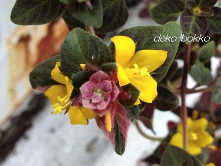 リシマキア 斑入り 花
