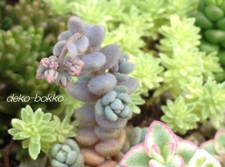 ブレビフォリウム 花芽 201406