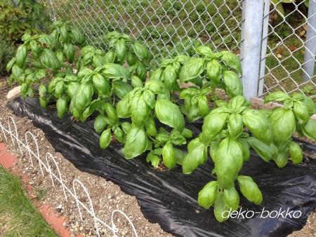 バジル 初収穫 201406