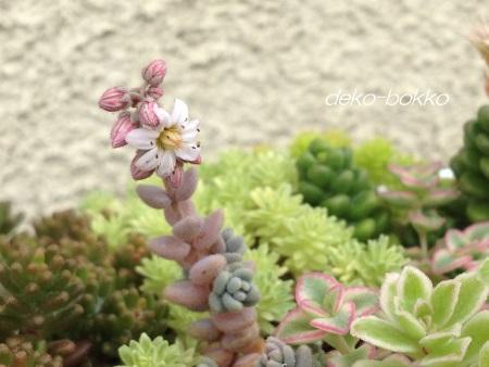 ブレビフォリウム 開花 201406