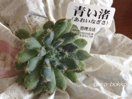 ゆぽぽ産 青い渚 201406