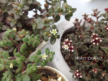 白小花 3種 比べ 201407