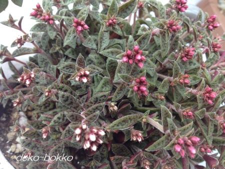 クーペリー 2種類 花 201407