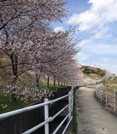 川沿いの桜1