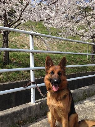 川沿いの桜4