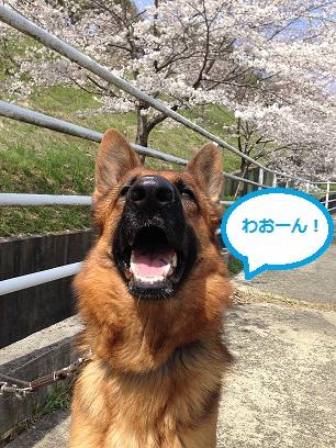 川沿いの桜6