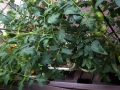 tomato1407122.jpg