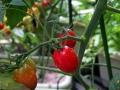 tomato1407123.jpg