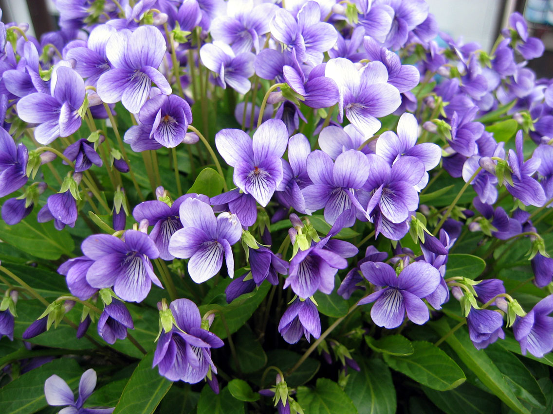 violet1404162.jpg