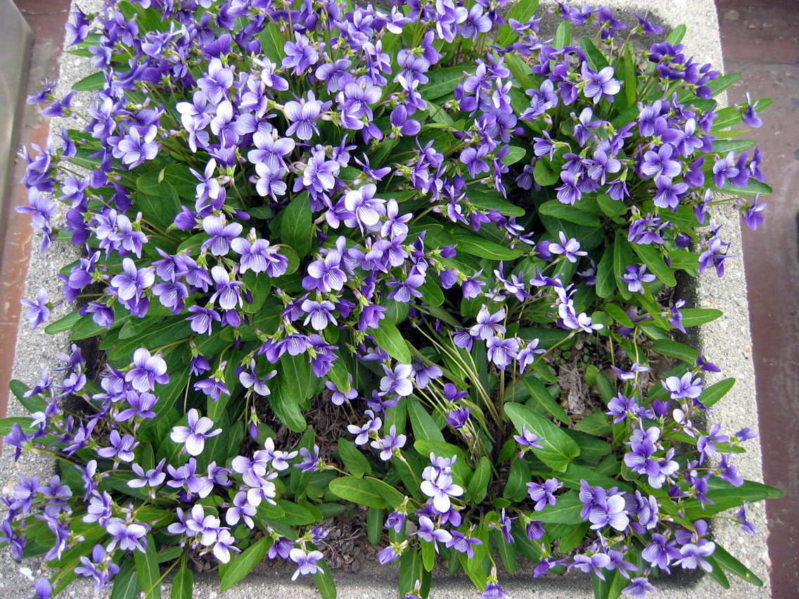 violet1404163.jpg
