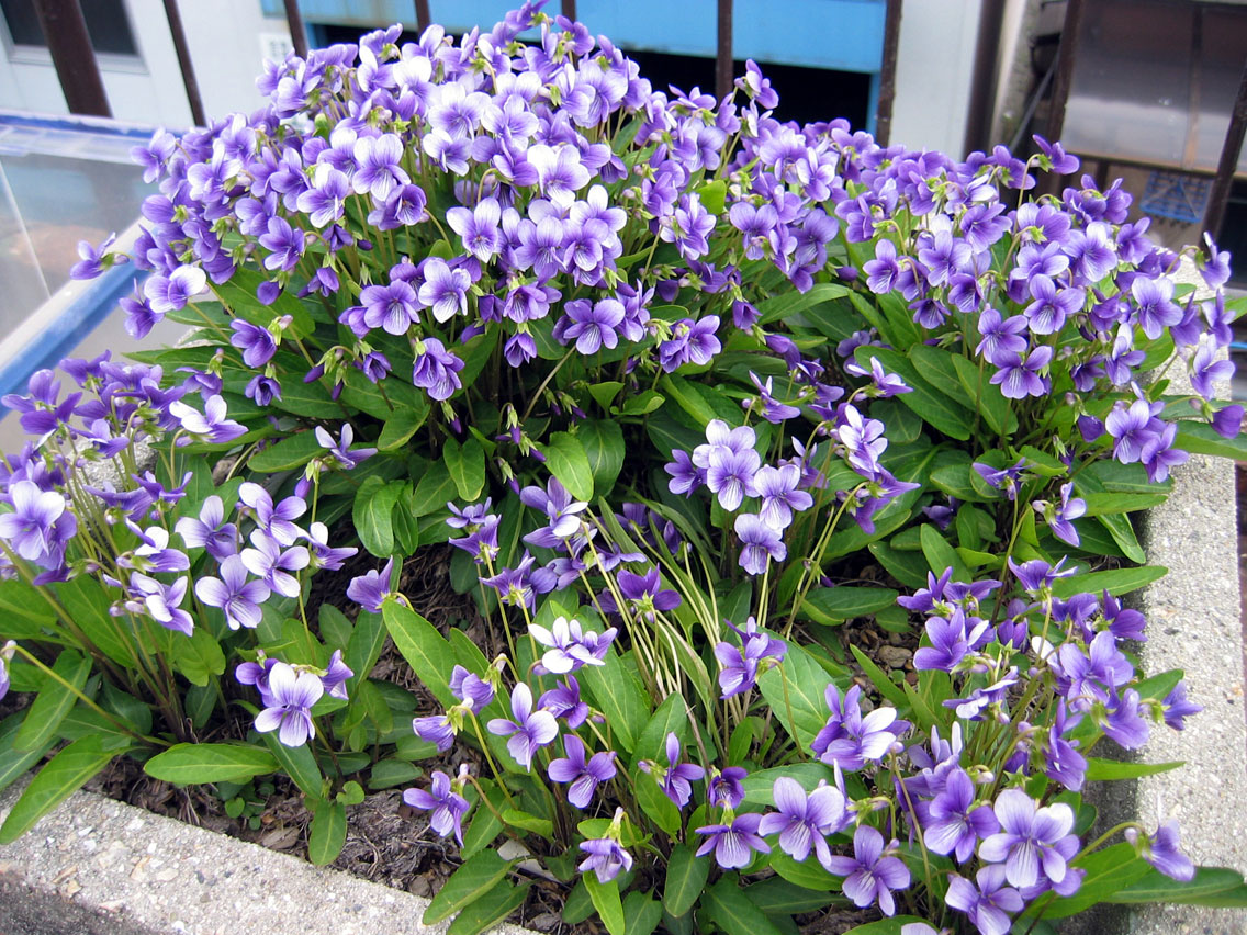 violet1404164.jpg